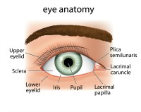 eye.anatomy1