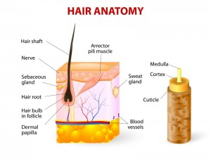 Hair anatomy. Vector diagram. The hair shaft grows from the hair follicle consisting of transformed skin tissue. The epidermal cells transform at the command of the dermal papilla cells and generate the hair shaft.